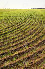 wheat crop sprouting